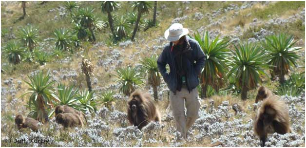 Field researcher with geladas at Guassa, Ethiopia