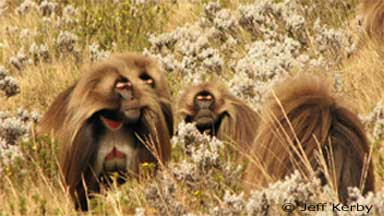 Three males threatening a lone male gelada