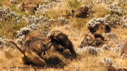 Two gelada males fighting