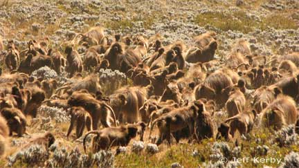 Gelada herd on the move