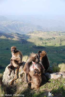 Gelada unit at the cliff edge